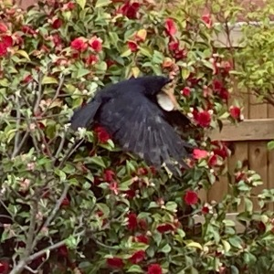 A crow caught stealing, flying in front of a camellia bush with the coconut hanging from it's beak
