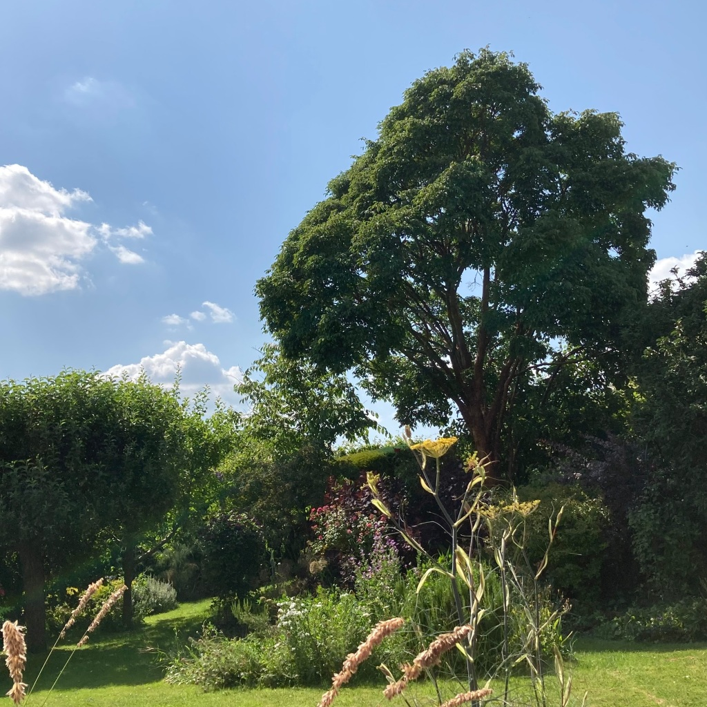 A photo of my mum's garden showing the Acer grisium that she grew from seed.
