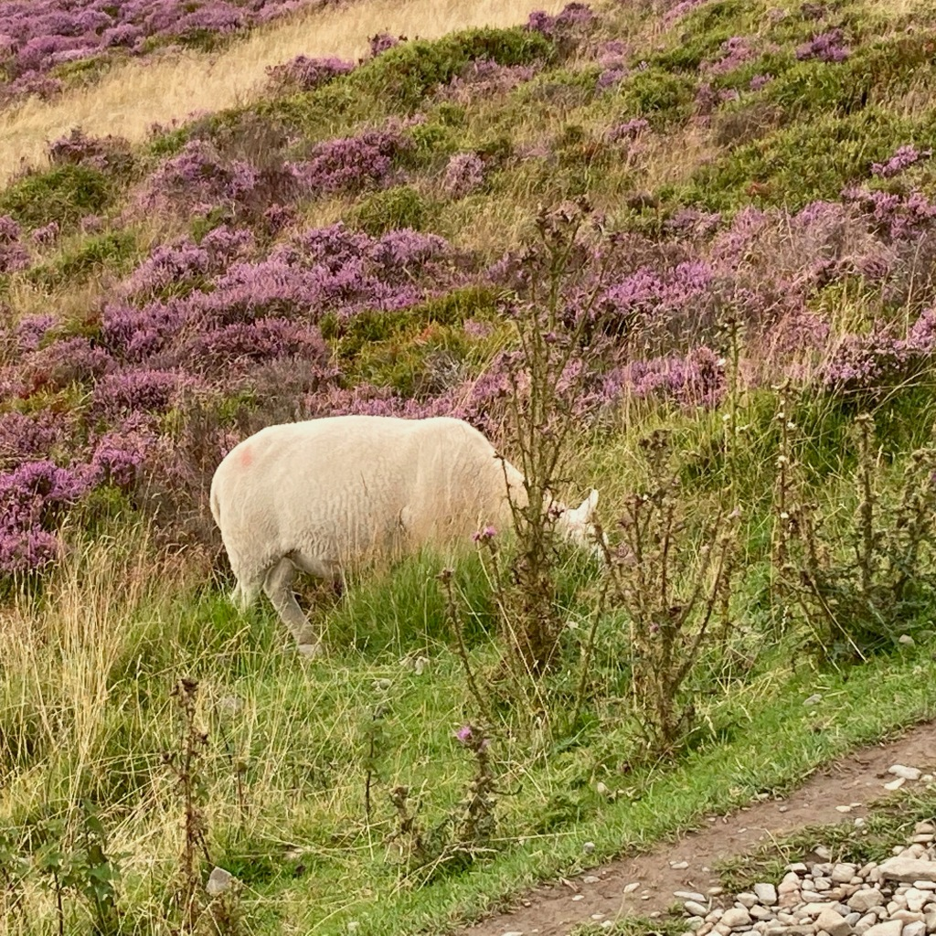 A sheep grazes on the hillside on grass. There is purple heather behind it. It is less than 2 metres from the footpath. Its head is obscured by thistles.