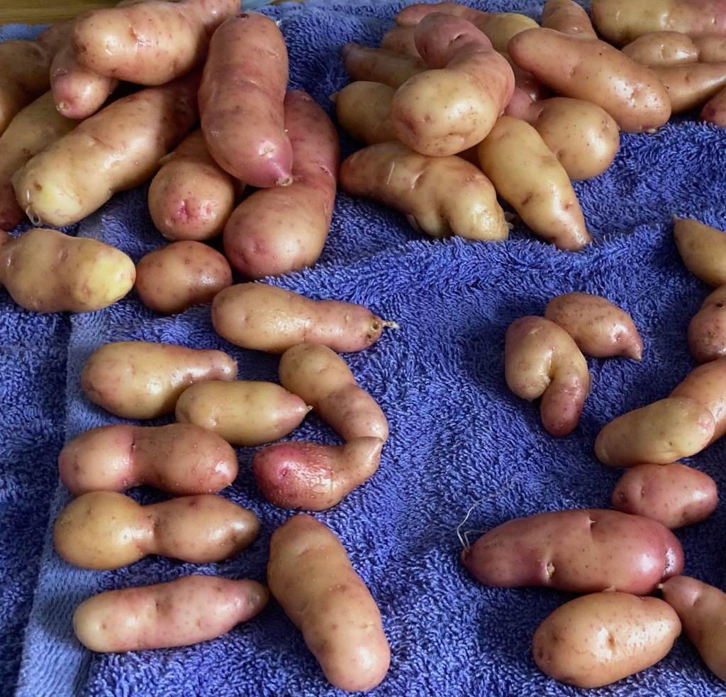 Lots of small knobbly Pink Fir Apple potatoes lie drying on a blue/purple towel. The potatoes have some pink parts and some yellowy-cream. Some of the shapes they have grown into are quite comical.
